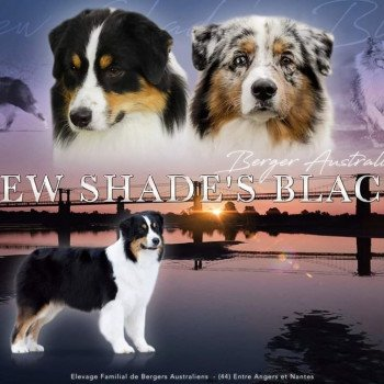 Elevage New Shade's Black